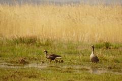 Familjefoto (tusenord) Tags: fåglar fotosondag tåkern grågås ungar gås fs190428 fornyelse renewal anseranser greylaggoose