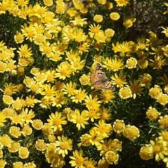 Painted Lady on Brittlebush (srjarratt) Tags: brittlebush encelia farinosa painted lady 31415927007