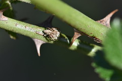 Una araña en el rosal silvestre (esta_ahi) Tags: santmartísarroca aranya araña spider arachnida fauna rosal silvestre rosa rosaceae penedès barcelona spain españa испания oxyopidae arañalince