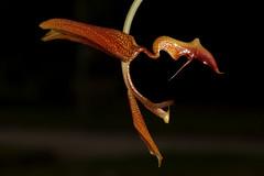 Gongora gratulabunda 2019-04-13 03 (JVinOZ) Tags: orchid orchidspecies gongora