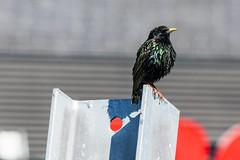 Bird on girder (starling?) (jer1961) Tags: toronto bird starling girder urbanbird
