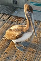 Pelican on Dania Beach Pier - 4.20.19 (carissac1974) Tags: daniabeach pier florida wildlife nature pelican bird