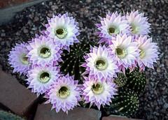 IMG_6087.CR2_EOS M5 18-150mm_27APR19_Cactus Flowers_YD (gre99qd) Tags: canoneosm5 canoncameras eosm5 canon cactusflowers cactusflower cactus eastercactus