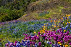 019_1669.jpg (dalelval) Tags: flowers tablemountain wildflowers