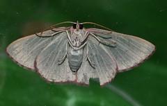 Blotchy Geometrid moth Prasinocyma sp aff rhodocosma Geometrinae Geometridae Airlie Beach rainforest P1030292 (Steve & Alison1) Tags: blotchy geometrid moth prasinocyma sp aff rhodocosma geometrinae geometridae airlie beach rainforest