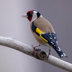 Gold Finch (PeskyMesky) Tags: goldfinch bird birdwatching nature aberdeen scotland canon canon5d eos