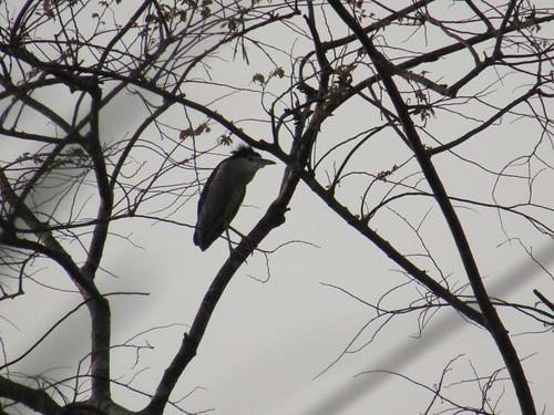 IMG_6591 black capped night heron