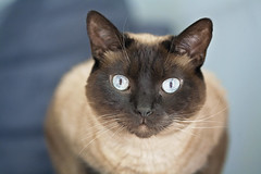 kitty stares ( explore ) (G_Anderson) Tags: siamese cat kitty macro