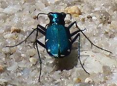 Six-spotted Tiger Beetle, Cicindela sexguttata, Tuckahoe Wildlife Management Area, NJ (Seth Ausubel) Tags: carabidae coleoptera cicindelinae