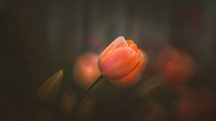 Tulips (Dhina A) Tags: sony a7rii ilce7rm2 a7r2 a7r tamron sp 350mm f56 tamronsp350mmf56 prime ad2 adaptall2 mirrorlens 06b catadioptric reflex cf tele macro manualfocus