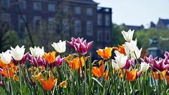A sunny Easter day & The Hague (janvandijk01) Tags: fleur color kleur bloemen flowers den haag the hague easter pasen zonning sunny binnenhof hofvijver tulpen tulips