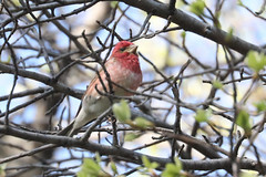 Purple Finch (haemorhous purpureus) (mrm27) Tags: finch purplefinch haemorhous haemorhouspurpureus centralpark newyork newyorkcity usa