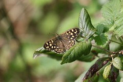 0M2A8212 Speckled Wood (kevin_livesey) Tags: nature butterfly wood speckled