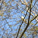 Willow Warbler DSCN7981