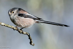 Long Tailed Tit 9-Mar-19 G_009 (gomo.images) Tags: 2019 bird country grantownonspey longtailedtit nature scotland scottishhighlands years