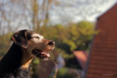 Lemmy enjoying spring sun! 💖 💗 💘 💝 (lichtspuren) Tags: lemmy lemmel bracke hellenichound hellinikosichnilatis blackandtan braque dog hund friend lichtspuren littledoglaughedstories