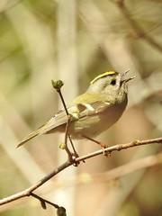 Goldcrest (Regulus regulus) (eerokiuru) Tags: goldcrest regulusregulus wintergoldhänchen pöialpoiss nikoncoolpixp900 p900 bird wildlife nature birding vogel