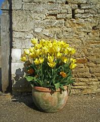 Yellow Tulips (amandabhslater) Tags: northamptonshire boughtonhouse garden grass trees house tulip tulips