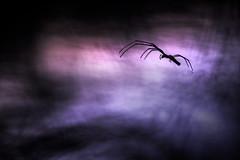 crépuscule (Elias macro proxy photographies) Tags: nature macro araignée spider canon6d sigma105macro ambiance nocturne nuit night bleu blue mauve rose pink