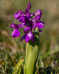 Green-winged Orchid (Anacamptis morio) (BiteYourBum.Com Photography) Tags: dawnandjim dawnjim biteyourbum biteyourbumcom copyright©2019biteyourbumcom copyright©biteyourbumcom allrightsreserved uk unitedkingdom gb greatbritain england canoneos7d canonefs60mmf28macrousm apple imac5k lightroom6 ipadair appleipadair camranger lrenfuse focusstacking manfrotto055cxpro3tripod manfrotto804rc2pantilthead loweproprorunner350aw sussex westsussex southdowns southdownsnationalpark botolphs shorehambysea shoreham anchorbottom greenwinged orchid anacamptis morio greenwingedorchid anacamptismorio