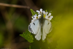 Orange-tip Butterfly (Anthocharis cardamines) (BiteYourBum.Com Photography) Tags: dawnandjim dawnjim biteyourbum biteyourbumcom copyright©2019biteyourbumcom copyright©biteyourbumcom allrightsreserved uk unitedkingdom gb greatbritain england canoneos7d sigma50500mmf4563dgoshsm apple imac5k lightroom6 manfrotto055cxpro3tripod manfrotto804rc2pantilthead loweproprorunner350aw sussex westsussex southdowns southdownsnationalpark botolphs shorehambysea shoreham millhilllocalnaturereserve millhill orangetip butterfly anthocharis cardamines orangetipbutterfly anthochariscardamines