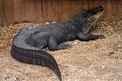 Alligator (seefit) Tags: ballarat ballaratwildlifepark animal animals alligator reptile