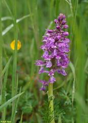 Orchis Mâle - Variation - Echay (francky25) Tags: orchis mâle variation echay orchids orchidée sauvage franchecomté doubs flore printemps