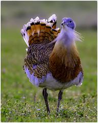 Avutarda (Otis Tarda)   figandPhoto002 (figandPhoto) Tags: avutarda otistarda calera aves nikon d810 sigma 150600 hide