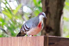 Dove (deborah.dourneau) Tags: australia birds dove sydney tarongazoo wildlife animal