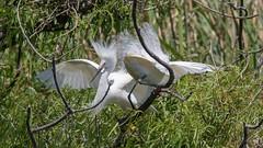 Snowy Egret (Egretta thula) (Tony Varela Photography) Tags: snowyegret egret egrettathula canon photographertonyvarela