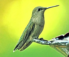 Hummingbird (richardbmarlow) Tags: nature bird hummingbird outdoors wild