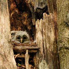 Baby owlets at White Rock Lake (melsdad1) Tags: owl whiterocklake sony a7riii 100400 dallas dusk birds