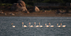 DSC_2206 LR (P. Thyaga Raju) Tags: bird wildlife indianbirds aves nature