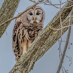 Barred Owl  (Strix Varia) (Kevin E Fox) Tags: barredowl owl strixvaria lancaster pa pennsylvania raptor bird birding birds birdofprey birdphotography sigma150600sport sigma nature nikond500 nikon