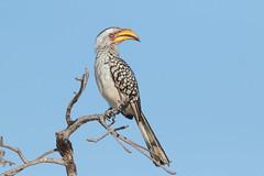 Toco Piquigualdo Sureño (ik_kil) Tags: tocopiquigualdosureño southernyellowbilledhornbill tockusleucomelas kruger krugernationalpark southafrica