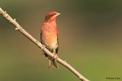 # Rose Finch...................Male (Dr Prem K Dev) Tags: rose finch beautiful bird bokeh green bg wildlife wonderful nature nilgiris kothagiri india perched pleasant plumage pose colorful coonoor red pink lovely composition