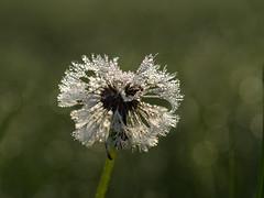 Dandelion (de_frakke) Tags: dandelion plant seeds flower dew wet droplets druppels bokeh paardebloem
