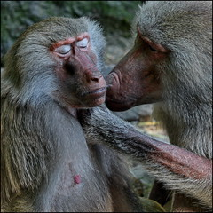 Without words ... (Logris) Tags: pavian paviane affen affe zoo tiergarten animal animals tiere baboon baboons canon eos