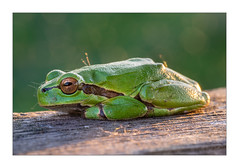 Relaxing in the evening sun (Thomas Walkner) Tags: frosch laubfrosch frog neusiedler see apetlon illmitz nationalpark abendsonne