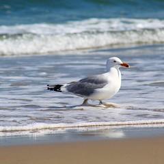 (Hawkins1977) Tags: seagull beach assateague wildlife wildlifephotography wildlifenature bird birdwatching pic nature natureza