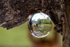 _MG_4595 (phreddyy) Tags: glass sphere crystal photo newforest england uk hampshire woodland country countryside location wildlife tree trees grass animal cow horse holly sunny sunnyday canon 5d2 5dmkii canon5dmkii orb ball