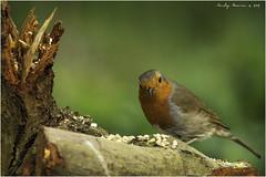 European Robin (Erithacus rubecula) (andymoore732) Tags: europeanrobin erithacusrubecula ukbirds woodland urbanandsuburban farmland grey cream buff brown red orange white yellow nikon d500 afsnikkor300mmf4epfedvrswmif andymoore