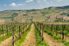 Vineyards of Oltrepo Pavese in April (clodio61) Tags: april europe italy lombardy oltrepopavese pavia agriculture color country day field green hill land landscape nature outdoor photography plant road rural scenic spring springtime sunny vine vineyard