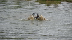 Sparring in the water (Pixel and Nissan) (LadyRaptor) Tags: yorkshirewildlifepark yorkshire wildlife park doncaster ywp nature outdoors spring time springtime water lake pool pond ripples reflection waves mud grass shore fight fighting sparring playtime play playing playful best friend friends bffs besties buddies mates bromance friendship friendly affectionate happy fun cute animal animals predator carnivore caniformia ursidae polarbear polarbears male polar bear bears ursus maritimus projectpolar pixel nissan