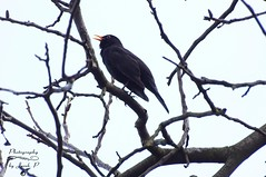 Blackbird (Jurek.P2 - new account) Tags: bird birds birdissinging kos blackbird spring warsaw warszawa ptaki ptak poland polska wildbird jurekp2 sonya77