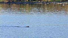 Halichoerus grypus - a Grey seal in Stockholm (and a swan!) (Franz Airiman) Tags: halichoerusgrypus säl seal sälis sälx grayseal greyseal animal djur stockholm sweden scandinavia wild vild vattendjur mammal watermammal däggdjur vattendäggdjur gråsäl saltsjön