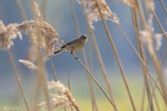 Help me out (Thijs de Bruin) Tags: bird reed riet blauw blue yellow geel nederland dutch