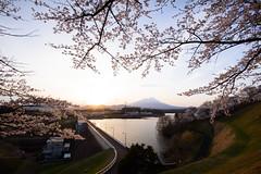 Cherry and Sunset (kat-taka) Tags: cherry water mountain flower tree dam lake japan sunset sunshine landscape dawn evening