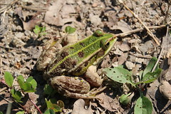 Frog (Viva.Chelonia) Tags: frog frogs bombina toad amphibia frosch croatia hrvatska kroatien