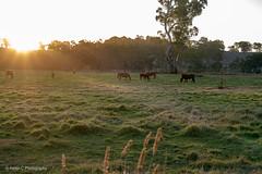 2019 Mt Lofty April Finals LR WM-7 (Helen C Photography) Tags: adelaide hills south australia mount lofty autumn nature colours nikon d750 sunset dusk horse sun green